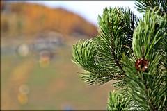 Aghi nel vento (Maulamb) Tags: pino abete livigno