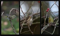 KUS850-11541 (Weinstöckle) Tags: vogel erlenzeisig