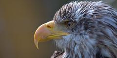 Bald eagle changing the head colour (pe_ha45) Tags: weisskopfseeadler baldeagle haliaeetusleucocephalus falknerei fauconnerie falconry greifvogel raptor bird