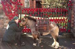 Poppy Day (Goldcrest307955) Tags: horse artillery ww1 poppy remembrance