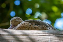 Sleeping Beauty (billcoo) Tags: 6d2 6dii duck mallard bird 2 bokeh nature