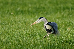 Le contorsionniste/ The contortionist (Elisabeth Lys) Tags: contortionist contorsionniste héron green nature bird oiseau d7200 nikon sigma 150600mm contemporary
