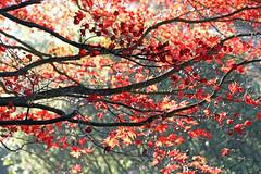 Japanese Maple (Mah Nava) Tags: japanesemaple maple ahorn herbst autumn