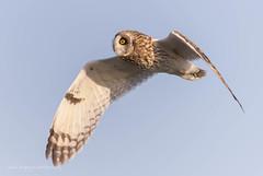 Short-eared Owls (Peter Bangayan) Tags: owl shortearedowl wildlife wildlifephotography nature bird birds raptors