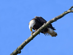 Bald Eagle (Brian E Kushner) Tags: american baldeagle bald eagle fish fishing raptor wings talon beak king flying flight inflight haliaeetusleucocephalus conowingo dam conowingodam darlington md maryland z6 nikonz6 bird birds bkushner wildlife animals birdwatcher ©brianekushner nikonafsnikkor500mmf56epfedvrlens nikon afs nikkor 500mm f56e pf ed vr lens