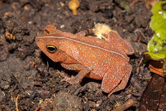 Rhinella sp. (a leaf-litter toad) - Bufonidae - Rainforest Discovery Centre, Soberiana NP, Panama-5 (Nature21290) Tags: amphibian anura bufonidae lowlandbroadleaftropicalevergreenforest panama2018 rainforestdiscoverycentre rhinella soberiananp toad
