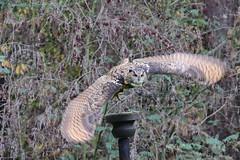 Eagle-owl - Uhu (Noodles Photo) Tags: vögel aves eulen strigiformes eigentlicheeulen strigidae uhus bubo bubobubo uhu eagleowl eurasianeagleowl wildpark gangelt wildparkgangelt nrw northrhinewestphalia nordrheinwestfalen deutschland germany canoneos7dmarkii tamronsp150600mmf563divcusdg2
