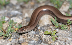 Slow Worm (Alex Perry Wildlife Photography) Tags: slowworm alexperry anguisfragilis anguis alexperryphotography anguidae lizard reptile herp herpetofauna herping wildlifephotography macro macrophotography westernrodopi bulgaria