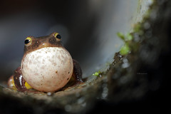 2J4A7912 (ajstone2548) Tags: 12月 樹蛙科 兩棲類 台北樹蛙