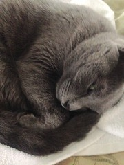 #Skye trying to nap (Steve Aynes Images) Tags: sleepyhead towel sleep florida grey gray feline pet time nap furry russianblue cutesy cute cat skye