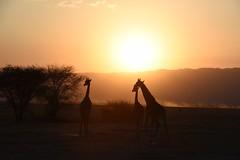 TANZANIA (gabrielebettelli56) Tags: africa tanzania nature giraffe sunset tramonto colors nikon travel viaggi animals