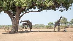 In the shade of a Sausage Tree (Tris Enticknap) Tags: africa zambia giraffe southluangwa thornicroftgiraffe masaigiraffe giraffacamelopardalis giraffetippelskirchi akarhodesiangiraffe