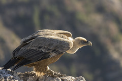Prêt à partir - Ready to go (bboozoo) Tags: griffonvulture vautourfauve nature wildlife canon6dmarkii canon100400