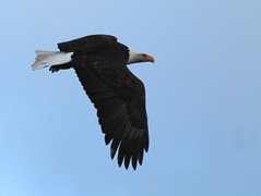 IMG_4841 (Jayebug) Tags: bald eagle baldeagle eagles raptor raptors idaho coeurdalene cda id wolflodge december 2018 wildlife birds sky wild