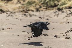 Stealth Mode (davidrhall1234) Tags: jackdaw jackdawcorvusmonedula ardmucknishbay scotland birds bird birdsofbritain beak corvid flight feather nature nikon coastal coast outdoors shore shoreline sea wildlife world