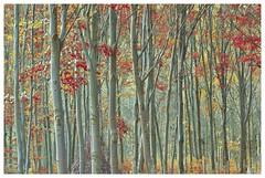 Zuid-Limburg (FvdZ) Tags: zuidlimburg limburg landscape landschap autumn herfst trees bomen bos forest