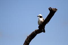 White-rumped Shrike (jd.willson) Tags: jd willson jdwillson nature wildlife birds birding africa tanzania serengeti national park whiterumped shrike