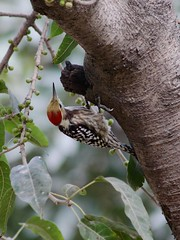 Yellow Crowned Woodpecker (hasham2) Tags: bird wildlife park animal urban tree canon 5dmk2 ef 90300mm