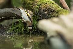 Chardonneret élégant Suisseg/VD   #oiseau #bird #chardonneret #plume #feather #appdln #swisscore #nature #foret  ##nikond750 #nikon #d750 #nikond500 #d500 #wildlife #photographe #picture #photography #bassin #eau #lac #riviere #river #lake #sea #water (swisscore) Tags: d750 feather appdln bassin oiseau plume riviere sea lac nikon bird eau chardonneret swisscore wildlife nikond500 nature foret photographe water picture nikond750 river lake photography d500