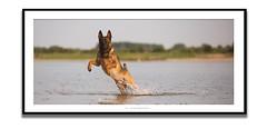 RICO (Zuugnap) Tags: tlphotographynl zuugnap tjeulinssen malinoisdog mechelseherder