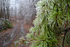 Iced Pine (NC Mountain Man) Tags: pine driveway forest woods ice icestorm trees ncmountainman nikon d3400 phixe