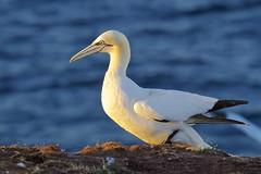 Basstölpel_3056 (Torsten Klein) Tags: morusbassanus basstölpel helgoland germany schleswigholstein bird vogel gannet