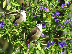 Red-whiskered Bulbuls and Sky Flowers (weezerbee9) Tags: