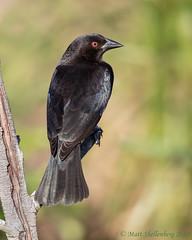 Bronzed Cowbird (Matt Shellenberg) Tags: bird bronzedcowbird bronzed cowbird black florida celery fields matt shellenberg