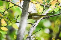 DSCF6123 (jojotaikoyaro) Tags: bird animal nature wildlife suginami tokyo japan fujifilm xh1 xf100400mm