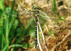 Golden Ringed Dragonfly! ('cosmicgirl1960' NEW CANON CAMERA) Tags: nature animals wildlife dartmoor devon green brown black yabbadabbadoo