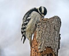FGR_7358bcd (frodin78) Tags: downy downywoodpecker woodpecker birds nature wildlife