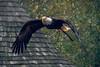 Bald Eagle, Puy du Fou, Vendée, France