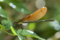coqueta (Aristides Díaz) Tags: insecto damselfly caballitodeldiablo calopteryxhaemorroidalis vidasilvestre arroyodehuélago granada andalucía sigmaexdghsm150f28macro