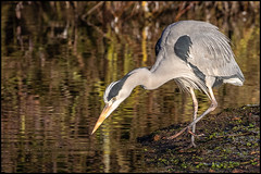 Grey Heron (John R Chandler) Tags: animal ardeacinerea bird brandonmarsh greyheron heron unitedkingdom warwickshire warwickshirewildlifetrust coventry uk gb