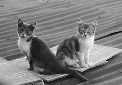 2 kittens on a roof (mcg0011) Tags: gatitos kittens cute blackwhite monocromatico bw mascotas 2gatitos 2cats manuelcarrasco