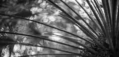 _GFX0562 alien palm pano bw (DannyBurkPhotography) Tags: palm abstract wild bokeh bw blackandwhite tree contrast greenhouse southbend indiana potawatomi helios gfx 50s