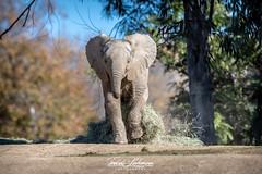 Zuli (ToddLahman) Tags: zuli umzulazuli africanelephant elephants elephantvalley escondido eyelock elephant elephantbaby port beautiful mammal male nikond500 nikonphotography nikon photooftheday photography photographer outdoors run