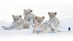 Lion teenagers (Peter Warne-Epping Forest) Tags: lion pantherusleo kgalagadinp botswana southafrica peterwarne predator carnivore hunter pride