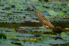 Yellow bittern on water lily leaves (Robert-Ang) Tags: bird wildlife nature bittern yellowbittern pond waterlily japanesegarden singapore animalplanet
