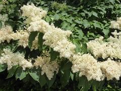 Evanston, IL, Northwestern University, White Flowers (Mary Warren 12.1+ Million Views) Tags: evanstonil northwesternuniversity campus nature flora plants green white blooms blossoms flowers