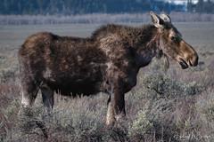 _0HM5798 (Hilary Bralove) Tags: bullmoose moose grandtetons tetons wyoming grandtetonnationalpark landscape wildlife