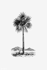 Vintage palm tree illustration (Free Public Domain Illustrations by rawpixel) Tags: antique art arts artwork black botanical botany cc0 creativecommons0 decor decoration decorative drawing ecology element engraved engraving environment fineart garden graphic graphite green historic historical history houseplant illustration ink isolatedonwhite leaf name nature painting palm palmtree pencil plant publicdomain retro sketch sketching spring tree tropical victorian vintage whitebackground