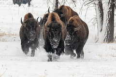 January 12, 2019 - Bison bulls race through the snow. (Tony's Takes)
