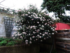 DSC00004 (PeaTJay) Tags: sonydschx90 zeiss england uk gb london chiswick macro micro closeups gardens outdoors nature flora fauna plants shrubs bushes flowers