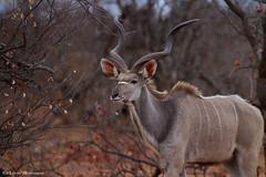 Kudu bull (leendert3) Tags: leonmolenaar southafrica krugernationalpark wildlife nature mammals kudu