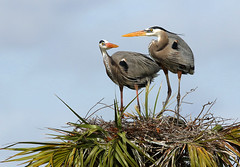 are you ready for lunch (Dianne M.) Tags: greatblue herons nature familys outside birds nesting windy florida