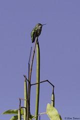 Anna's Hummingbird (Calypte anna) -  Vancouver, British Columbia, Canada (Kim Toews Photography) Tags: kimtoews naturallight naturephotography canon400mmf56 canon canada britishcolumbia bc outdoor nature wildlife animal bird anna'shummingbird calypteanna