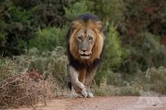 The King (fascinationwildlife) Tags: animal mammal wi wild wildlife nature natur national park africa afrika african lion löwe male big cat predator morning patrol road addo elephant south südafrika summer raubkatze