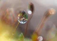 (skloi) Tags: moss moos wood forest wald makro bokeh macro tropfen drop droplet