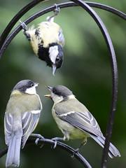 FVA_1134x (atone13) Tags: wildlife woodland birds british greattits nature nikon d7100 nikkor 80400mm f4556 vr ed fauna garden